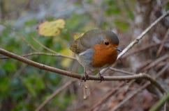 Robin in den Bergen Stockbilder