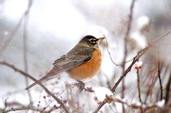 Robin in den Schneefällen Stockbild