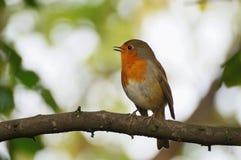 Robin, der auf der Niederlassung sitzt stockfotografie