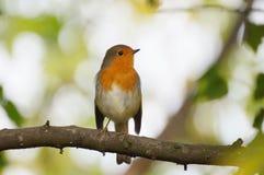 Robin, der auf der Niederlassung sitzt stockfoto