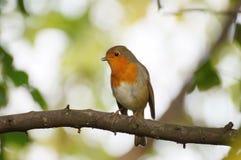 Robin, der auf der Niederlassung sitzt lizenzfreie stockfotografie