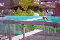 Robin, der auf einem netzförmigen Holzrahmen sitzt Stockbilder