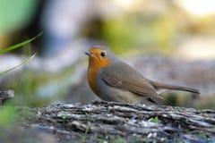 Robin, der auf einer Niederlassung steht lizenzfreies stockbild