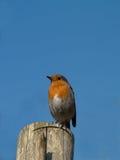 Robin, der auf Zaunbeitrag sitzt Lizenzfreie Stockfotos