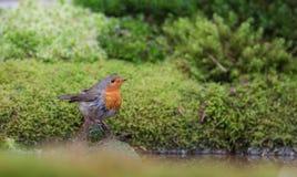 Robin, der an einem Pool badet lizenzfreie stockfotografie