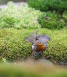 Robin, der an einem Pool badet stockfoto