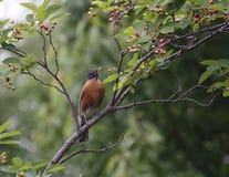 Robin, der im Frühjahr Beeren findet Lizenzfreies Stockfoto