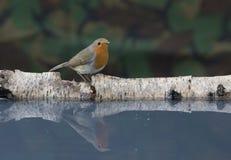 Robin, der mit Hintergrund singt Stockfotografie