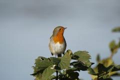 Robin, der mit Hintergrund singt Lizenzfreie Stockbilder