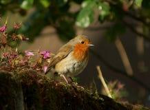 Robin in der Morgensonne Lizenzfreies Stockfoto