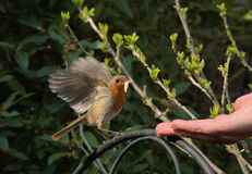 Robin, der von einer Hand speist Stockfotografie