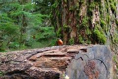 Robin di buon umore appollaiato sul boschetto enorme della cattedrale di connessione fotografia stock