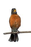 Robin di cinguettio Immagini Stock Libere da Diritti