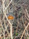 Robin di riposo fotografia stock