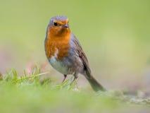 Robin di sguardo obliquo con fondo verde intenso fotografia stock libera da diritti