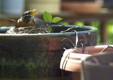 Robin die in bloempot nestelen Stock Afbeeldingen