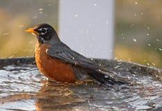 Robin die een bad neemt Stock Foto's