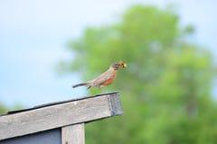 Robin die lunch eten Royalty-vrije Stock Afbeelding
