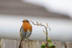 Robin die op omheining situeren royalty-vrije stock foto's