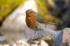 Robin die zich op een tak bevinden stock foto