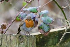 Robin die zich op omheiningspost bevinden royalty-vrije stock foto