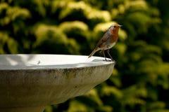 Robin die zich op vogelbad bevindt Stock Foto