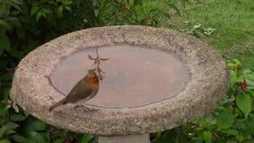 Robin drinking from a birdbath. stock video footage