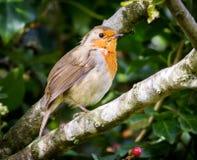 Robin e bacca rossa Fotografia Stock Libera da Diritti