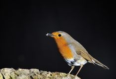 Robin eating. Royalty Free Stock Photo