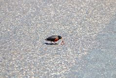 Robin Eating Earth Worm fotografering för bildbyråer