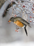 Robin eating icy red berries Stock Photos