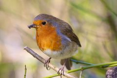 Robin Eating Insects Stock Images