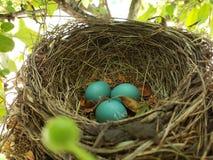 Robin Egg In Bird Nest Fotografie Stock