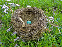Robin egg in nest Stock Image