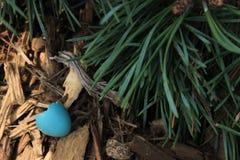 Robin Egg Shell with Pine Needles. Robin egg shell on the ground with pine needles Stock Photo