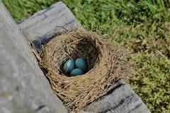 Robin Eggs royaltyfri bild