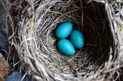 Robin Eggs. A nest with robin eggs Stock Images