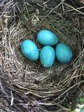 Robin Eggs Images stock