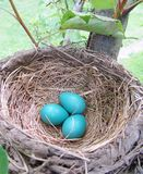 Robin eggs Royalty Free Stock Images