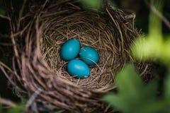 Robin Eggs azul em um ninho imagem de stock