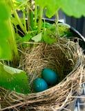 Robin eggs Royalty Free Stock Photos