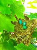 Robin Eggs Stock Image