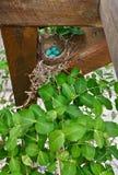 Robin Eggs hockte in der Plattformmarkise Stockbilder