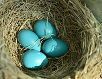 Robin eggs nest Royalty Free Stock Photo