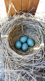 Robin Eggs Royalty Free Stock Photography