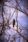 Robin in einem Baum Stockfotografie