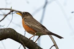 Robin in einem Baum Lizenzfreie Stockfotos