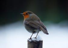 Robin en hiver Image libre de droits