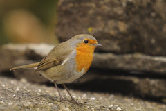 Robin, Erithacus rubecola Lizenzfreie Stockfotos