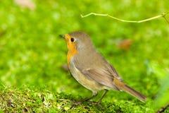Robin (Erithacus rubecula). Royalty Free Stock Image